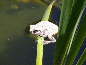 Gray tree frog in the fish pond. I don't mind it when they hang out here. It is not fun when they decide to live on top of the hot tub.