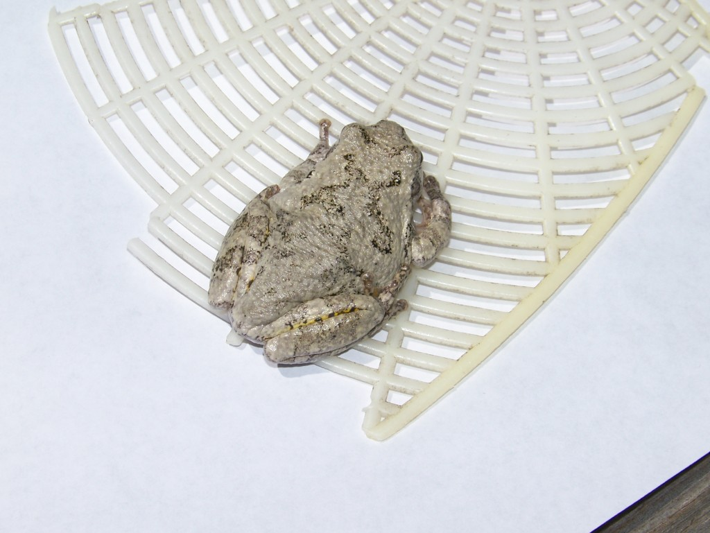 The gray tree frog (Hyla versicolor ) is so sticky I could hardly convince him to move. The fly swatter helped.