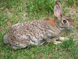 This guy must have been desperate because he was eating my grass - or was it the clover? Rabbits appear frequently just after dusk.