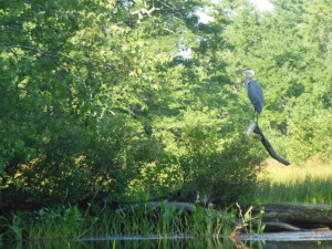 The Great Blue Heron (I think that's what it was) taunts me. I know it will swoop away before I am within the National Geographic Photograph zone.