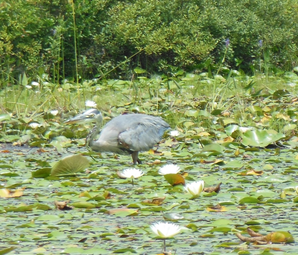 This isn't the most dignified pose for a heron. All of its attention was on me, the big yellow bug. Sorry for the poor photo, it was the best I could do with an uncooperative subject.