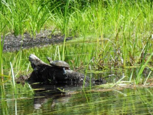 Which is the turtle and which is the branch? They always seem to align neck with branch while soaking up the morning sun.