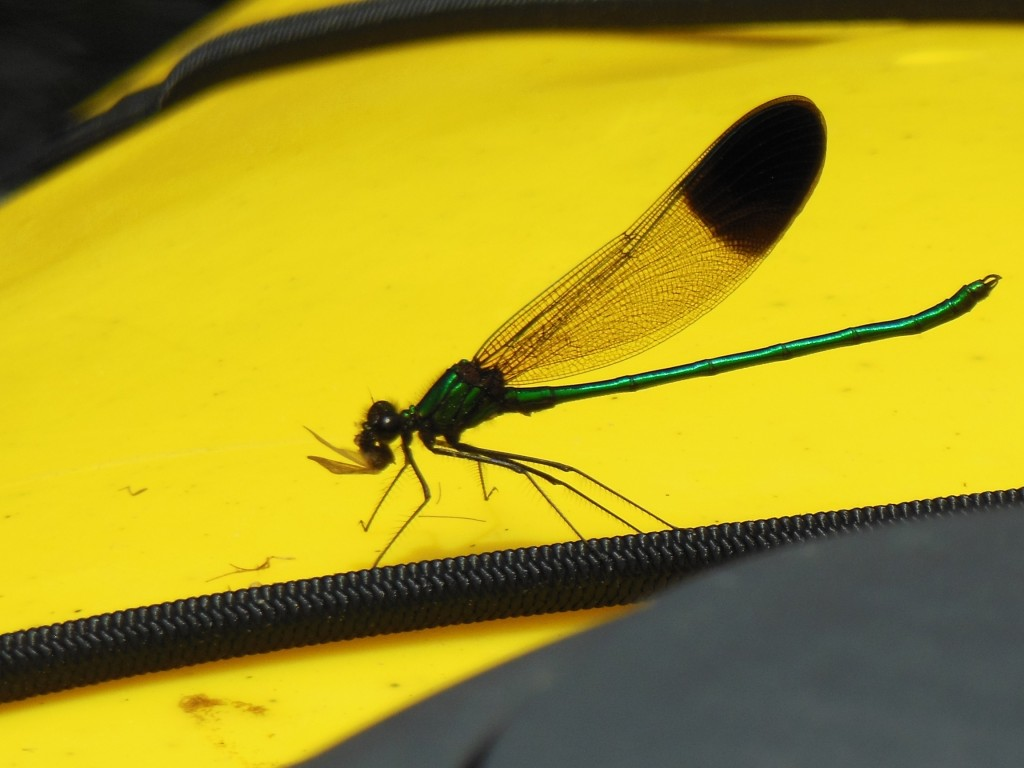 Look closely at the yellow surface of the kayak. Do you see the wings and feet, leftovers of the damselfly lunch?