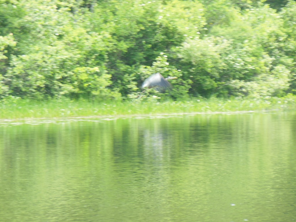 This is what all the herons do when they see me. Next time I will have a camera with which I may freeze the action and keep it in focus. This photography stuff is not easy!