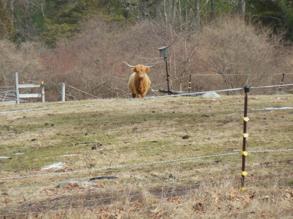 After walking about a mile (and removing my jacket and hoodie - it was getting hot) I passed by my cattle friends again. This time one of them began to approach the fence. This is as close as he would go, though. They have incredible curiosity. Are all cattle like this or just these shaggy mountain dwellers?