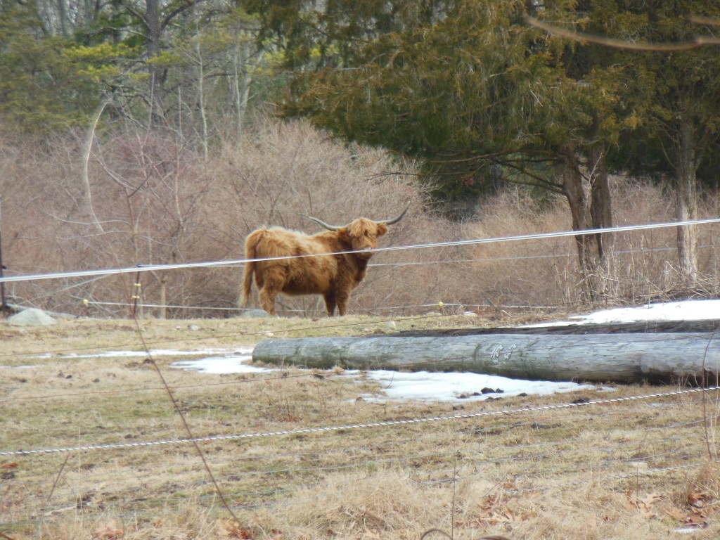 One of our neighbors keeps Highland Cattle. They like to stare at me. Although they are said to be gentle beasts, I am grateful for the fence that contains them.